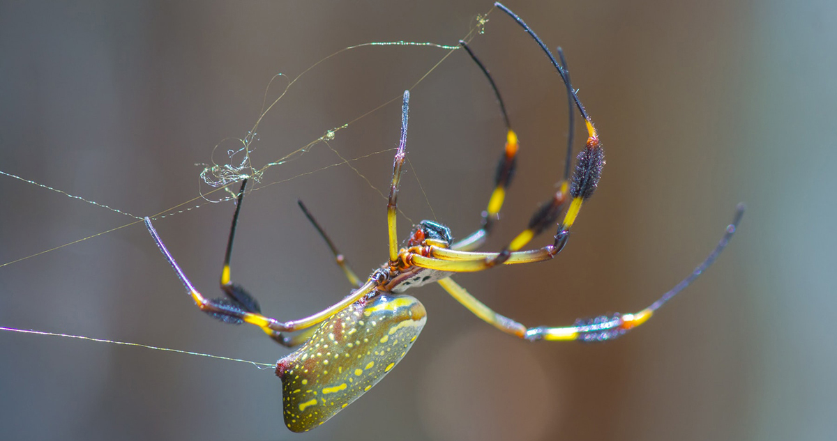 Orb-spider-making-web